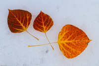 Aspen Leaves on Snow